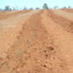 Establishment review of oil mallee carbon sequestration plantation project
